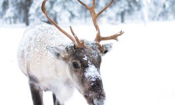 Нова година в Лапландия - Рованиеми
